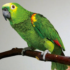 amazon parrot on wooden perch