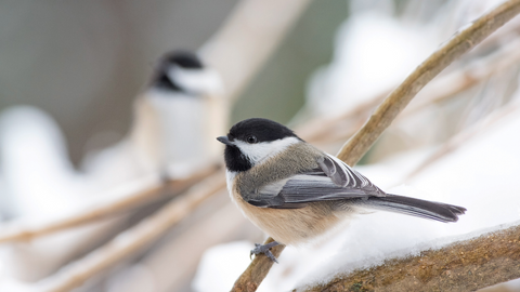 close up of two thirsty birds perched in the snow