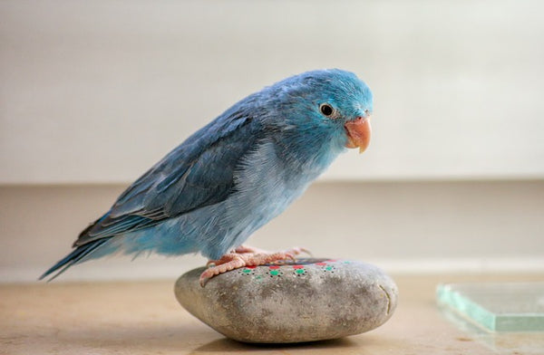 blue parrolet sitting on rock