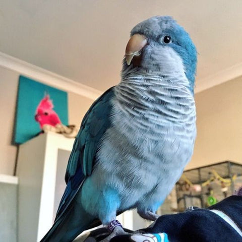 blue quaker parrot inside on top of couch