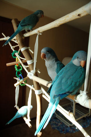 four blue quakers on homemade jungle gym perch