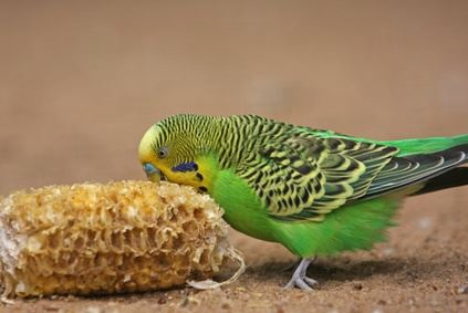 budgie snacking on corn