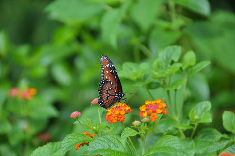 monarch butterly on colorful flowers