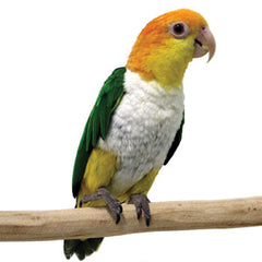 caique parrot perched