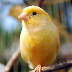 yellow canary perched on branch