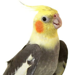smiling cockatiel