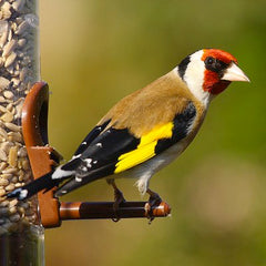 finch perched on a feeder