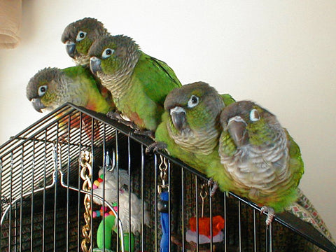 green cheeked conures family