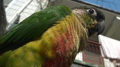 green cheeked conure looking down at camera