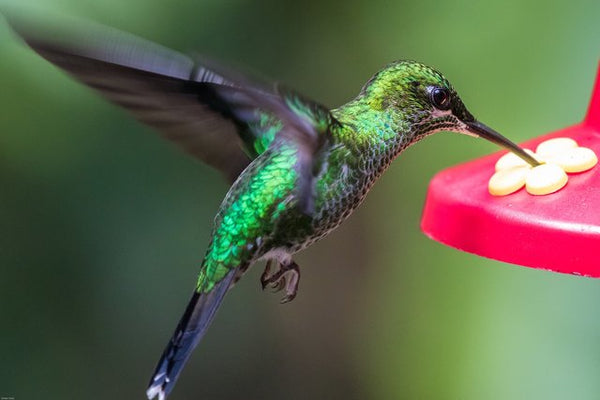 green hummingbird drinking from feeder while hovering