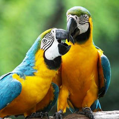 two blue and gold macaws playing with their beaks