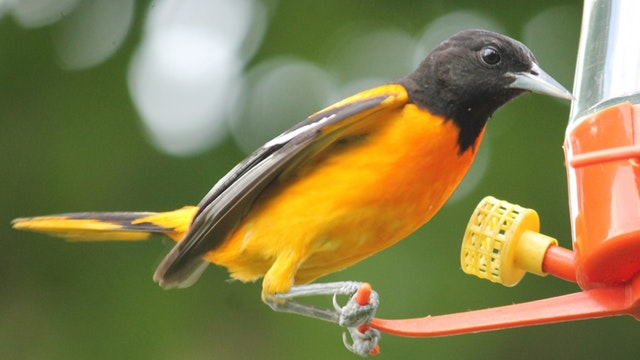baltimore oriole at nectar feeder
