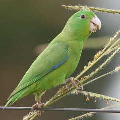 wild parrotlet perched on small brance