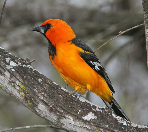 oriole bird perched on tree