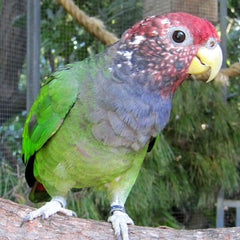 poinus parrot in a tree