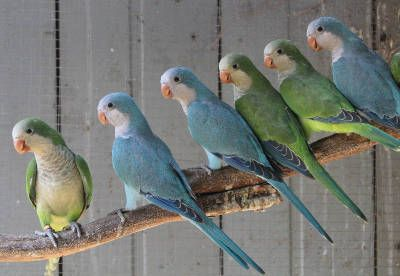 green and blue quaker parrots perched together on long branch