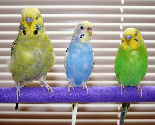 English Budgies & Parakeets Species Care Guide, Size & Lifespan