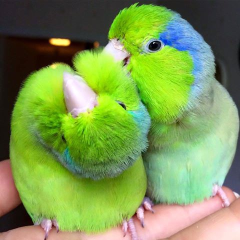 two pacific parrotlets playing