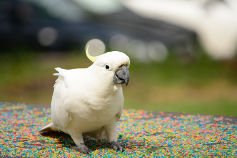 large white cockatoo sitting on floor