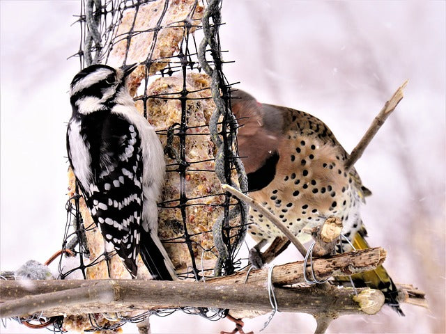 woodpeckers attracted to suet feedr