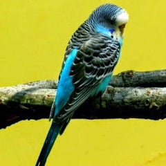 Parakeets as Pets: Are They GOOD? Pros & Cons of Owning a Budgie