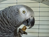 African grey parrot eating