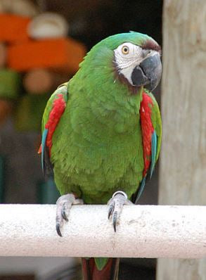 Chestnut-fronted (Severe) Macaw