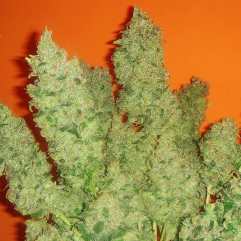 FEM JACK LA MOTA x3 - MEDICAL SEEDS