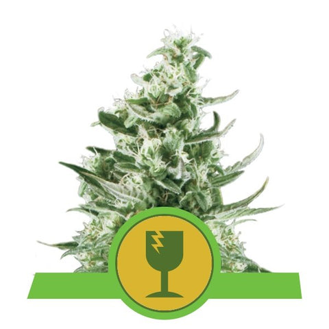 Auto Royal Critical x 3 Semillas Feminizadas