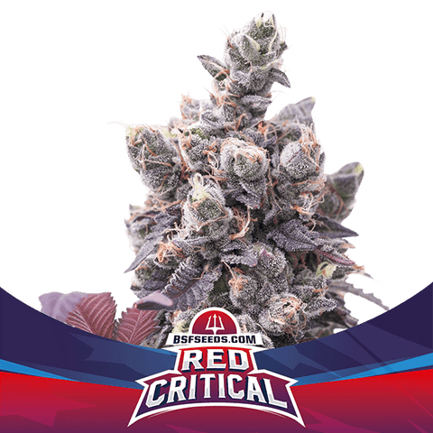 Auto Red Critical Auto x 7 Semillas