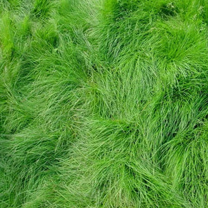 Creeping Red Fescue (50 lb.)