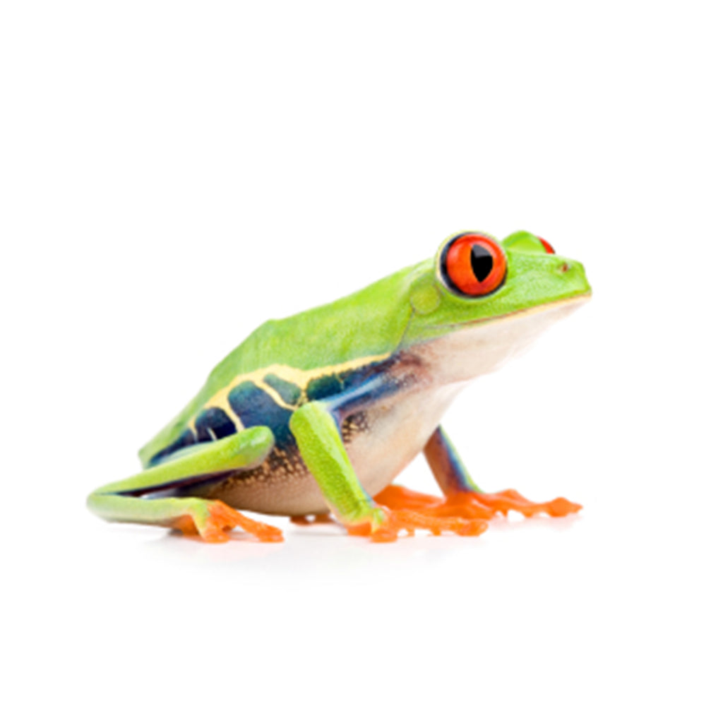 Red Eye Tree Frog (Med-Large)