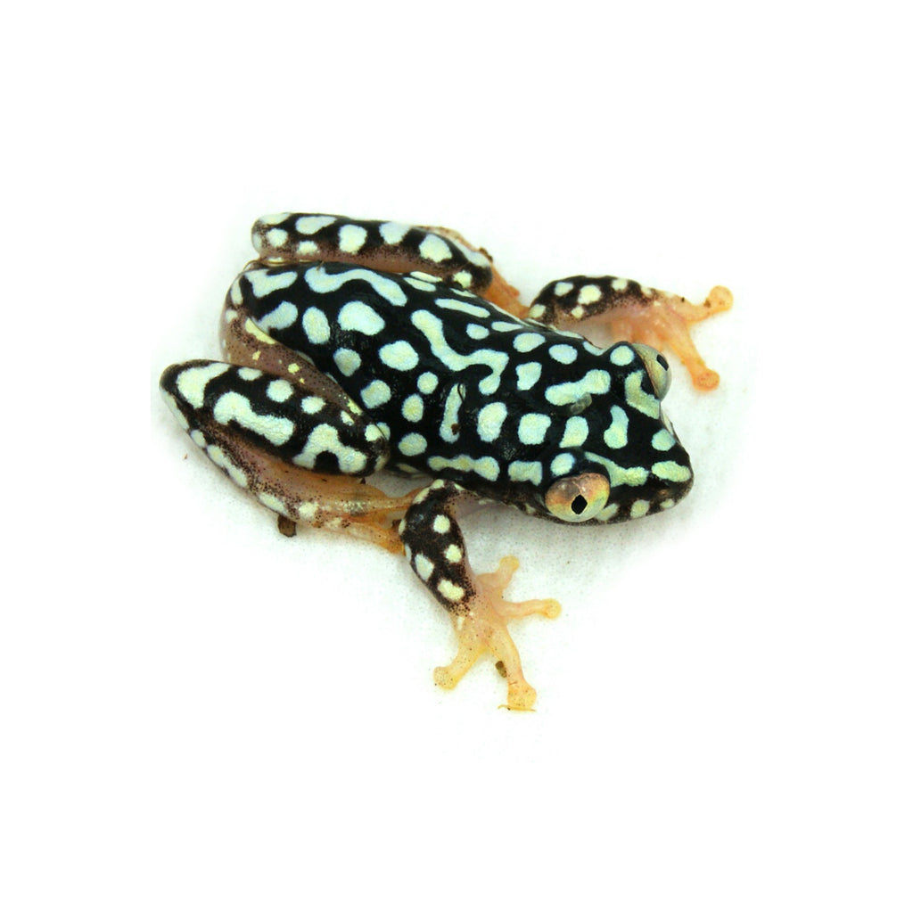 Starry Night Reed Frog - Heterixalus alboguttatus (Captive Bred)