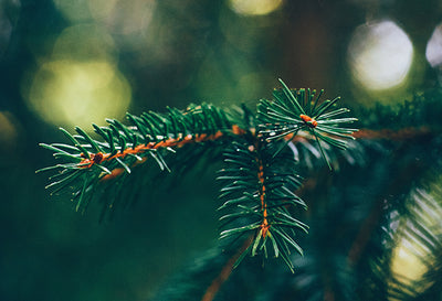 How Often Should I Water My Christmas Tree?