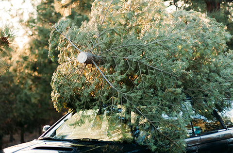 How Often To Water Christmas Tree.How Often Should I Water My Christmas Tree Old World