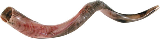 "Yemenite Shofar <br/><font color=""red"">Free Shipping</font>"