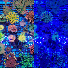 Load image into Gallery viewer, *Pirates Reef Corals Blue Filter Glasses*