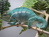 SOLD Male Nosy be Panther Chameleon