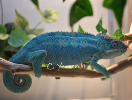 (RESERVED) Male Nosy be Panther Chameleon