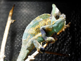 SOLD #M1047 Male High Translucent Veiled Chameleon