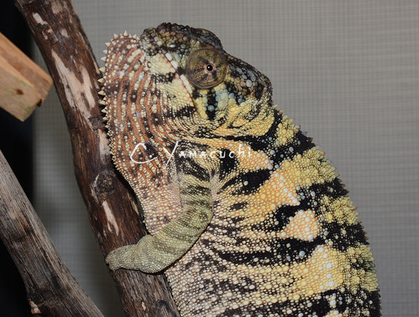3 x Ready To Breed - Nosy Be Female Panther Chameleons
