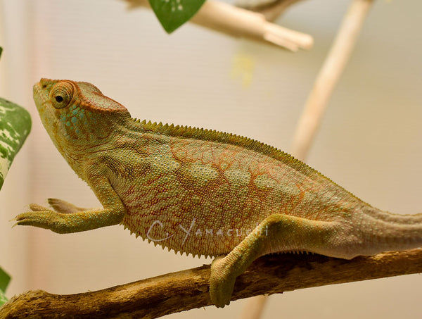 SOLD #F05-01 Ambilobe Female RBBB Red Body Blue Bar Panther Chameleon