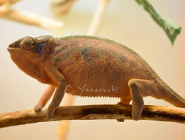 SOLD #F07 Ambilobe Female RBBB Red Body Blue Bar Panther Chameleon