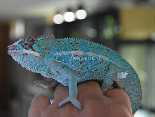 SOLD M10 Ambilobe Male RBBB Red Body Blue Bar Panther Chameleon