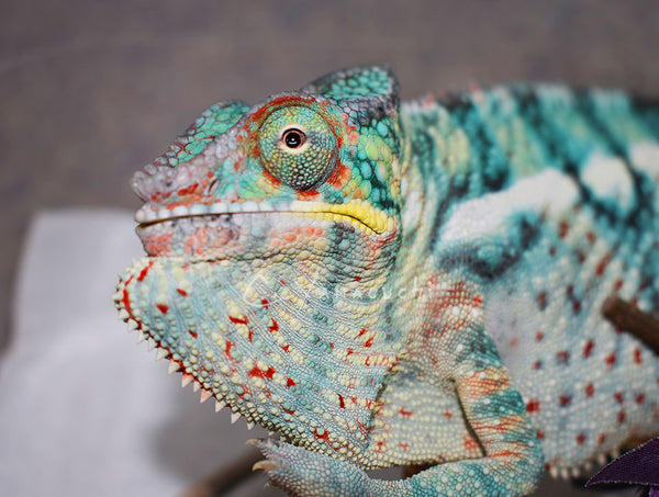 M11 Ambilobe Male RBBB Red Body Blue Bar Line Panther Chameleon