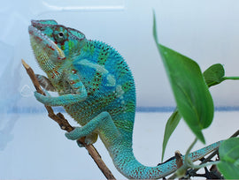 RESERVED M04 Ambilobe Male RBBB Red Body Blue Bar Panther Chameleon