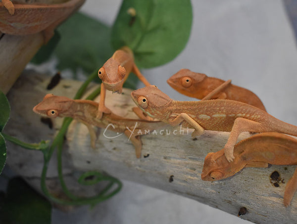BB Girls - Ambilobe Females RBBB Red Body Blue Bar Panther Chameleons