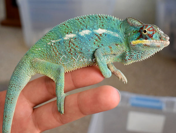 SOLD - TBBH Male Ambilobe Panther Chameleon