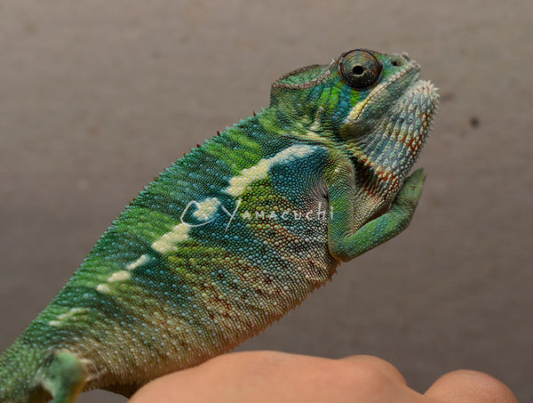 SOLD 5U1 Male Ambilobe Panther Chameleon