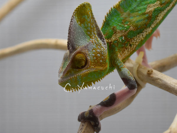 SOLD Male V2 - High Translucent Veiled Chameleon
